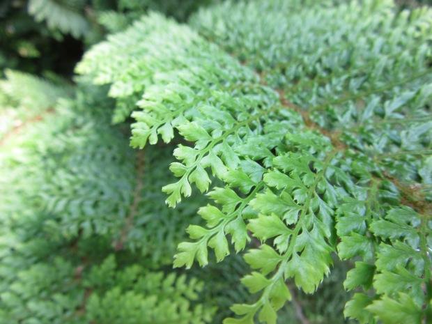 Polystichum setiferum Plumusomultilobum