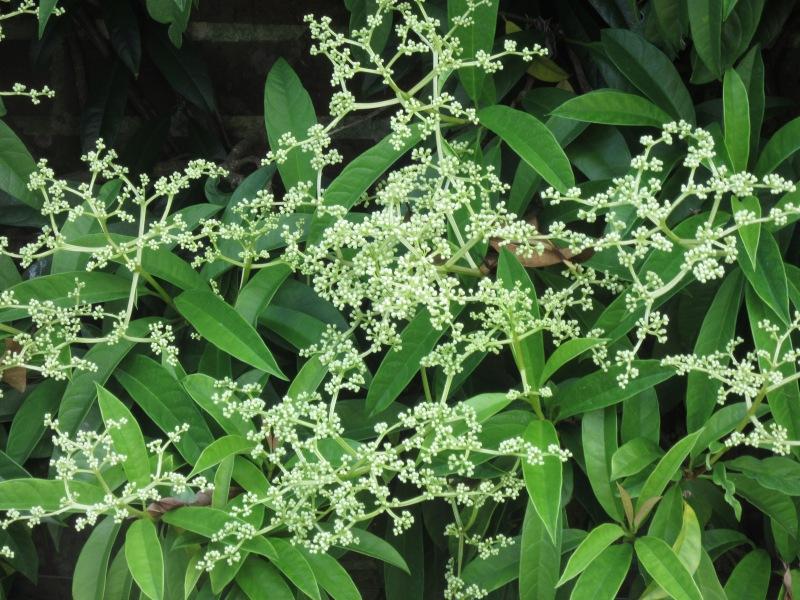Pileostega viburnoides