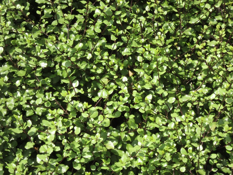 Piittosporum tenuifolium Silver Sheen