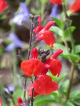 Salvia Royal Bumble