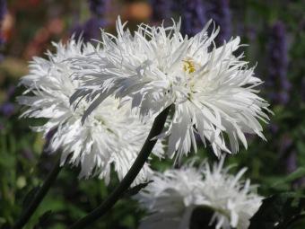Leucanthemum Aglaia