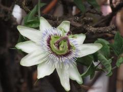 White Passiflora