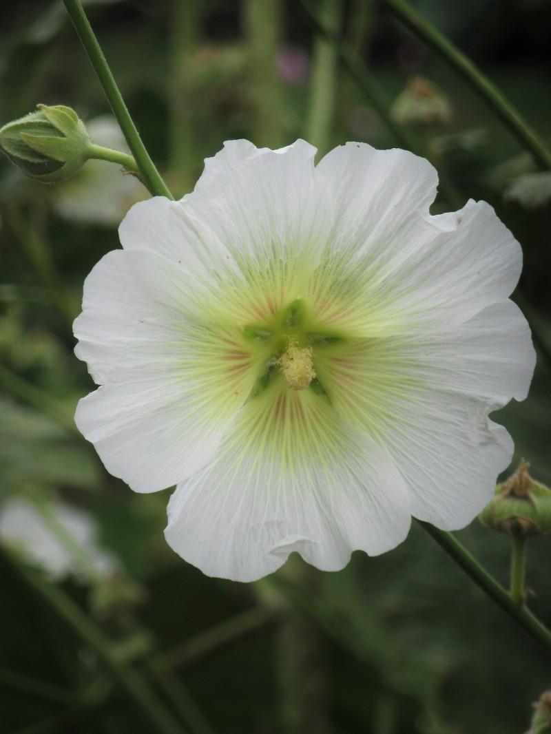 Alcea nudiflora