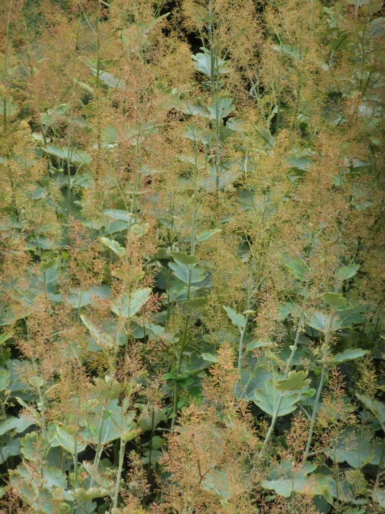 Maclaeya microcarpa