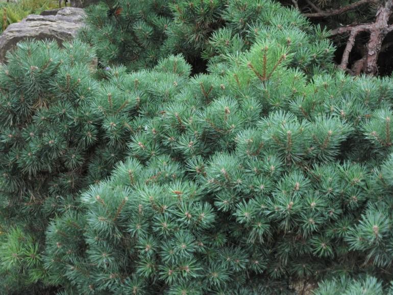 Pinus sylvestris beuvronensis