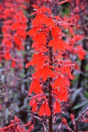 Lobelia cardinalis Queen Victoria