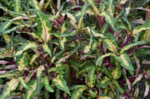 Green Croton