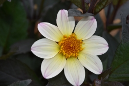 Dahlia Happy Days Cream-White