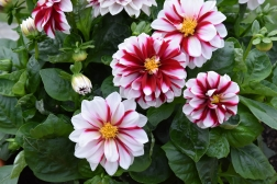 Dahlia Starsister Crimson Stripes