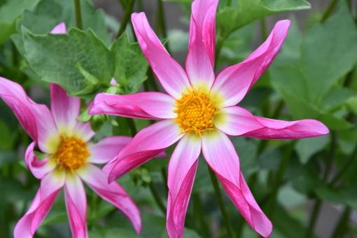 Dahlia Honka Rose