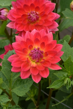 Dahlia Kilburn Rose