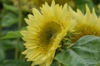 Helianthus annuus Lemon Aura