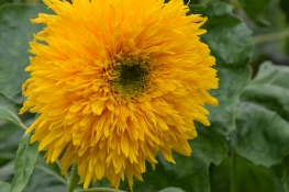 Helianthus annuus Double Quick