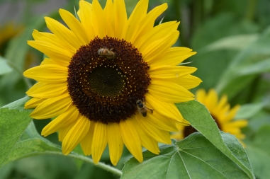 Helianthus annuus Holiday