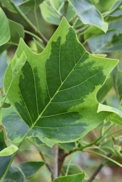 Liriodendron tulipifera Auromarginatum