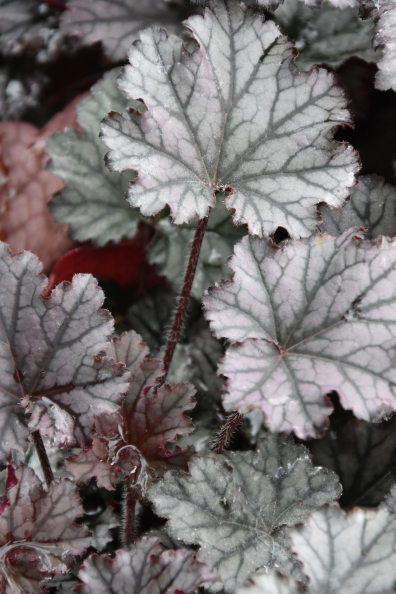 Heuchera Frosted Violet
