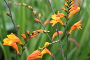 Crocosmia Fire Jumper