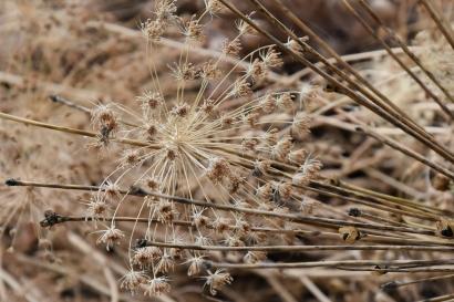 Allium skeletons