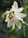 Passiflora White Wedding
