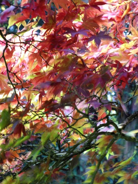 Acer Autumn Colour