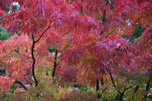 Acer palmatum Elegans