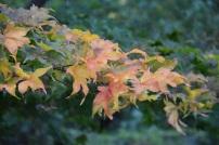 Acer palmatum Ichig Yoji