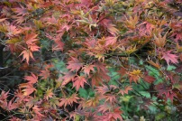 Acer palmatum Kinran