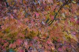 Acer palmatum Omur Yama