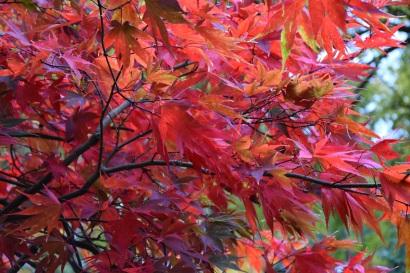 Acer palmatum Takinogawa