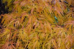 Acer palmatum var dissectum