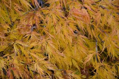 Acer plamatum var dissectum
