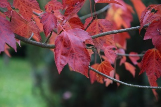 Acer rubrum Red Sunset