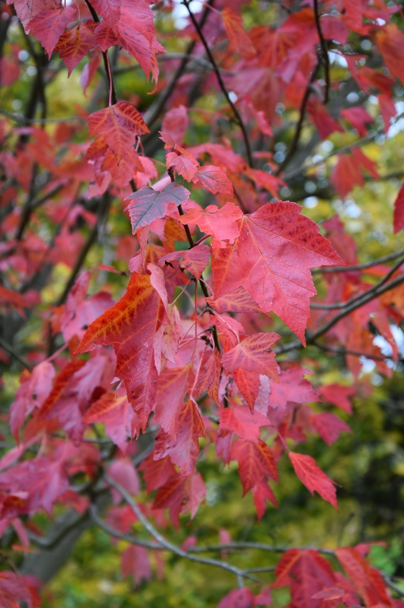 Acer rubrum Red Sunseet