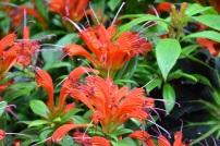 Asschynanthus Hot Flash