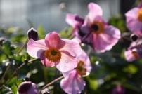 Anemone hupehensis Splendens