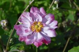 Anemone hybrida Carmen