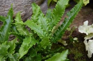 Asplenium scolopendrium Muricatum fimbriatum