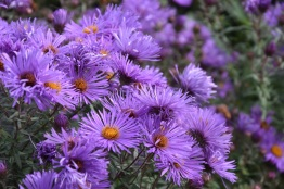 Symphyotrichum Purple Cloud