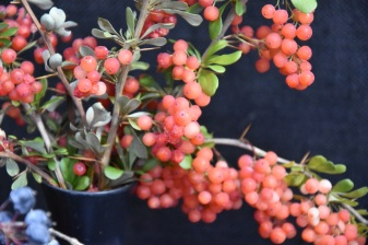 Berberis x carminea Pirate King