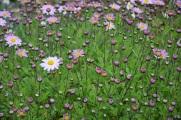 Chrysanthemum L'Innocence