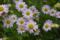 Chrysanthemum L'Innocence 4