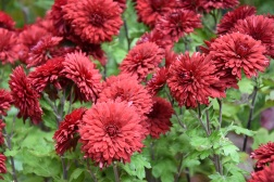 Crysanthemum Ruby Mound