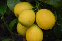 Citrus limon Meyer