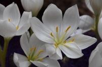 Colchicum speciosum album