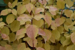 Cornus sanquinea Magic Flame