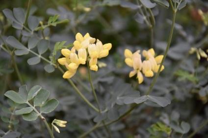 Coronilla subsp glauca Citrina