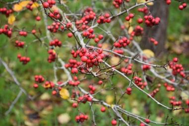 Crataegus persimilis Prunifolia