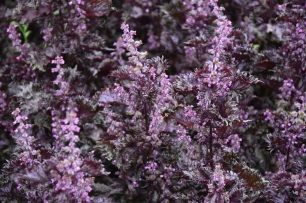 Curly red Shiso