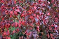 Euonymus Red Cascade