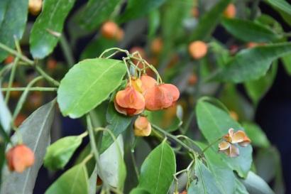 Euonymus myrianthus